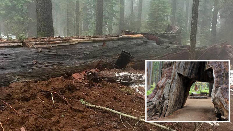 """Cae histórico árbol """"Cabaña del pionero"""" a causa de las lluvias en California"""