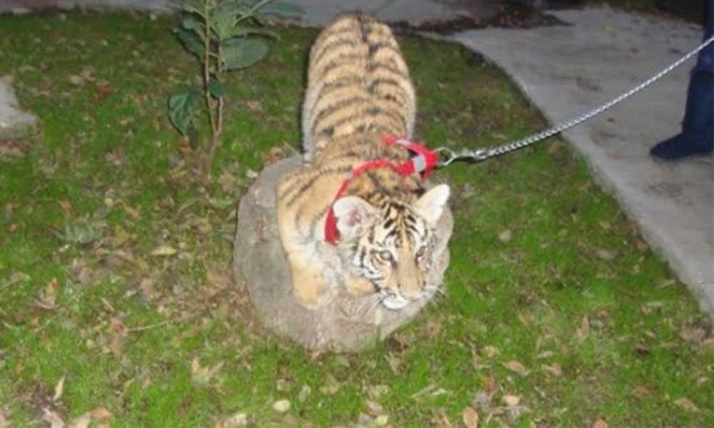 Profepa rescata a tigre de bengala en casa de Tijuana