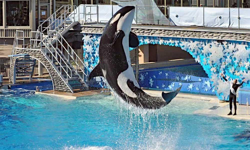Anuncian última función de orcas este domingo en SeaWorld