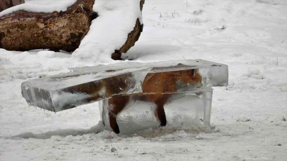 La foto de un zorro congelado, símbolo de la ola de frío en Europa