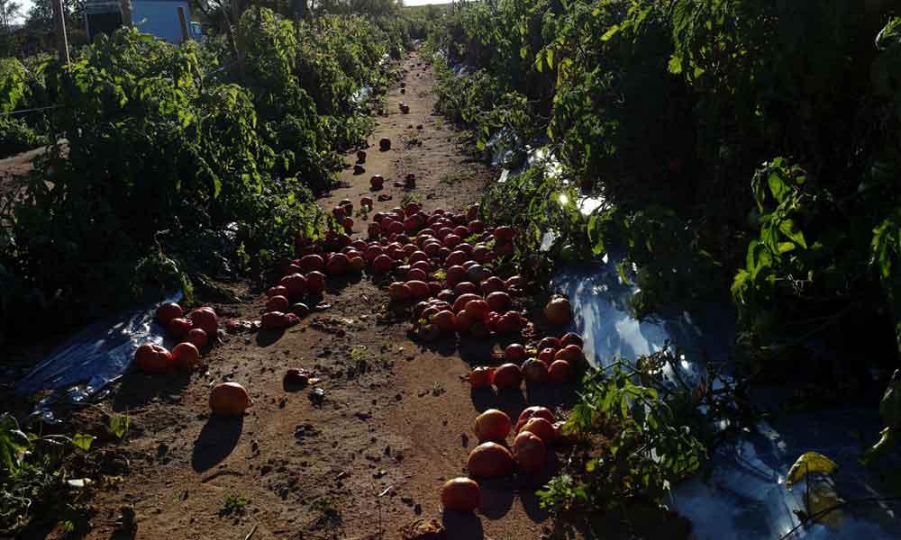 Se pudren cosechas tras nueva ley antiinmigrantes en Alabama
