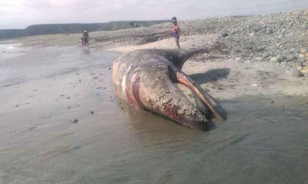 Encuentran ballena muerta al sur de san felipe; Otra en Ensenada