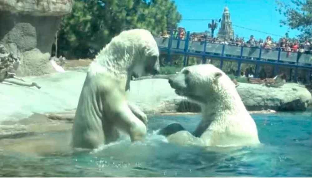 Muere osa polar tras ser separada de su compañera en Sea World de San Diego