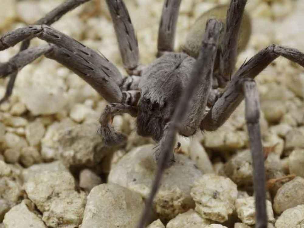 Nueva especie de araña gigante y venenosa es descubierta en Baja California