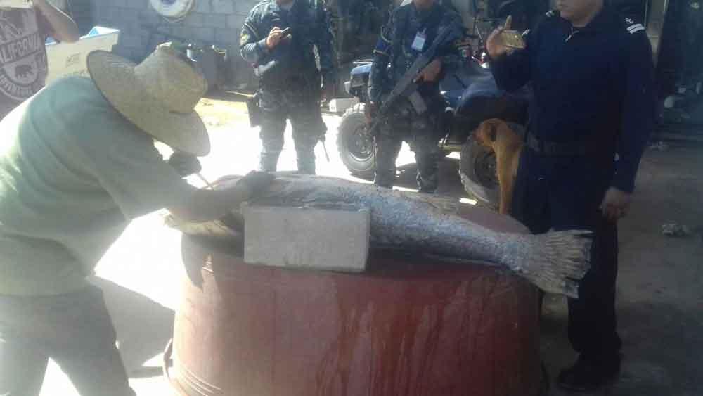 Detienen a 4 personas por posesión de producto de totoaba en Baja California