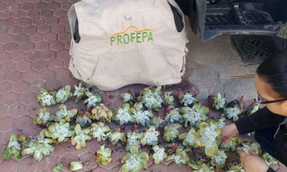 Detienen a 4 por traficar con plantas nativas de Baja California