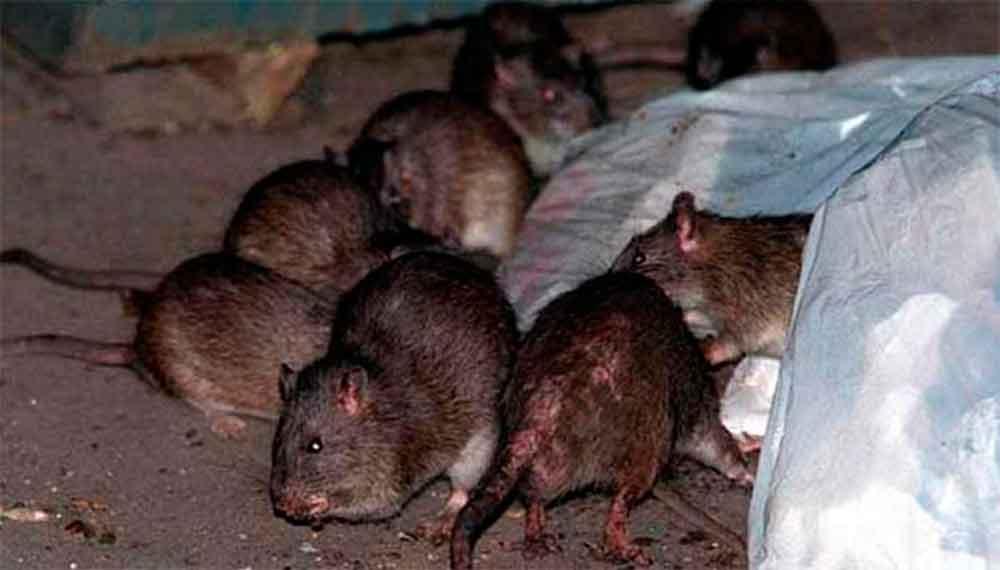 IMSS advierte por enfermedad transmitida por ratas