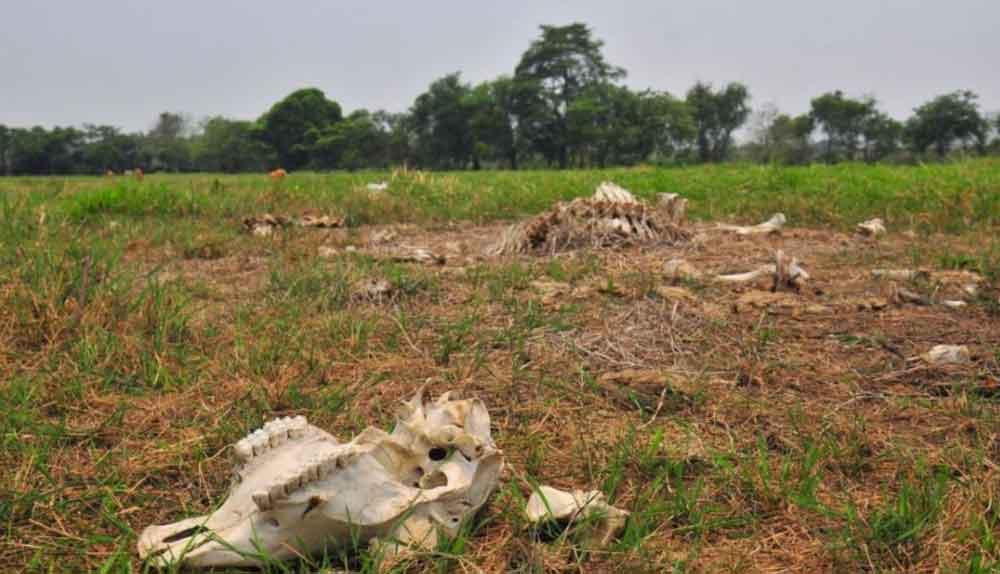 Sequía extrema provoca muerte de ganado en Sonora