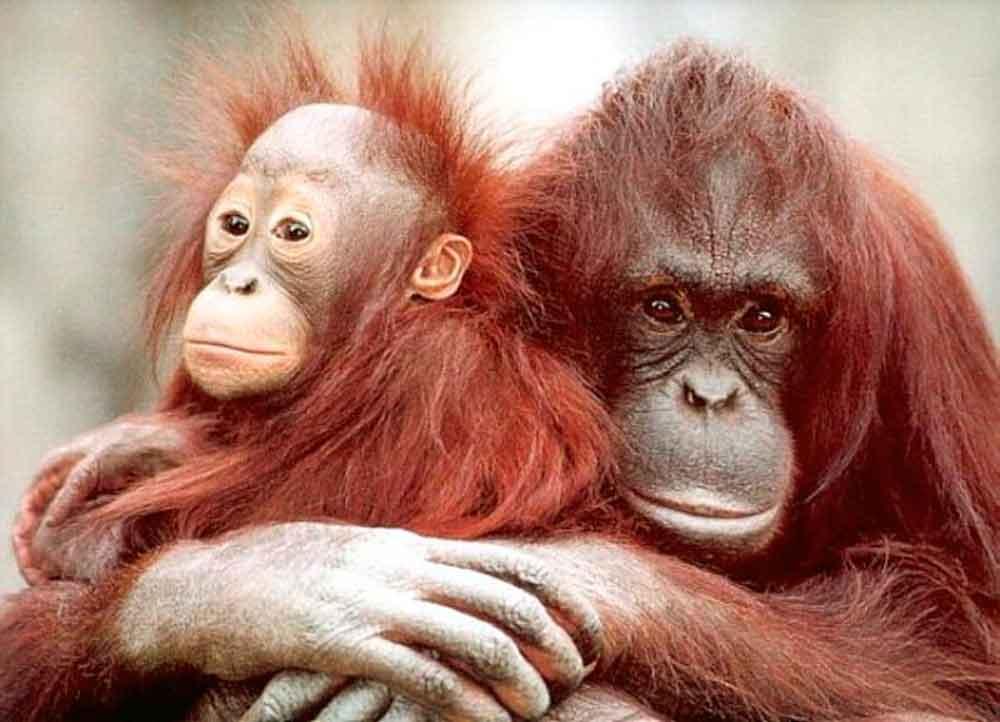Trafican orangutanes para ser prostituidos en burdeles de Asia