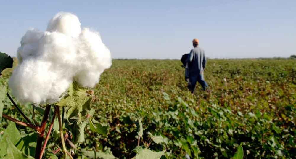Registra Baja California excelente producción de algodón