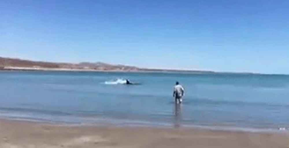 Sorprende tiburón blanco en playas de Baja California