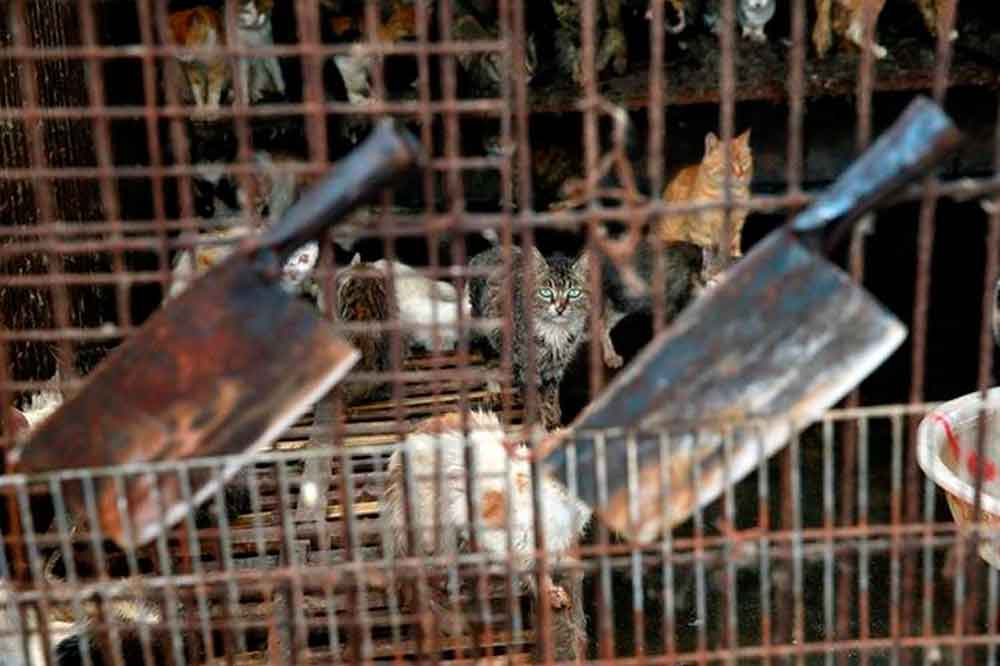 Rescatan a 500 gatitos; iban a convertirse en comida china