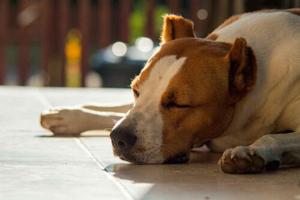 "Confirman 7 casos de gripe canina ""muy contagiosa"""