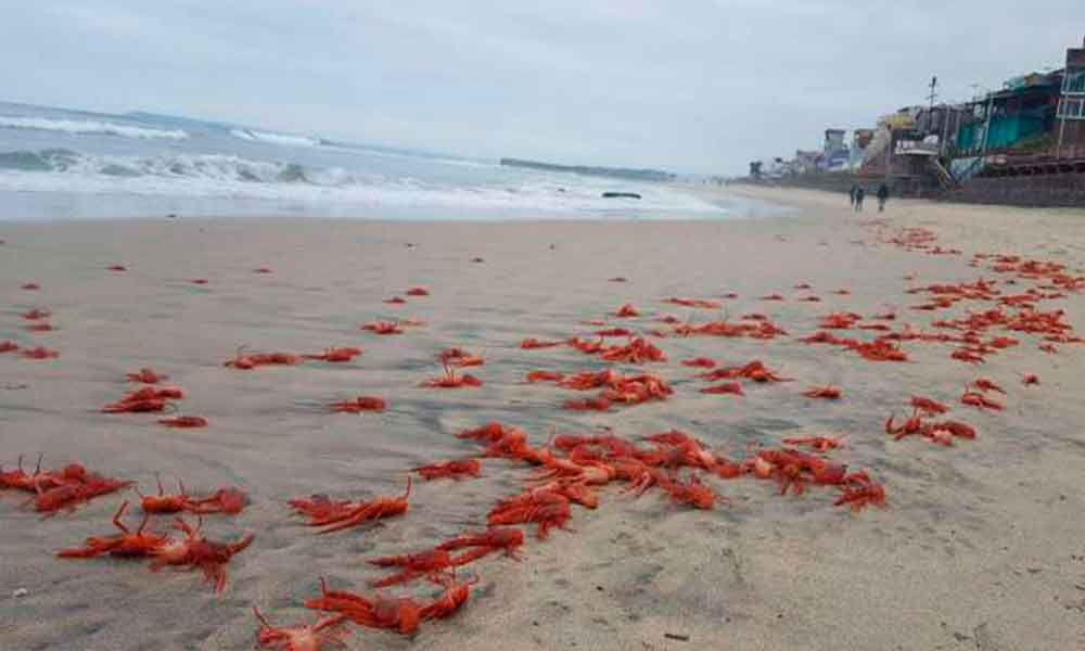 Playas de Tijuana plagada de langostilla roja