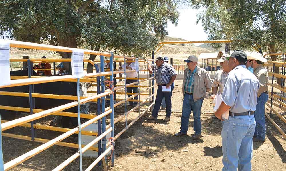Apoyo a ganaderos de Baja California para la adquisición de sementales bovinos