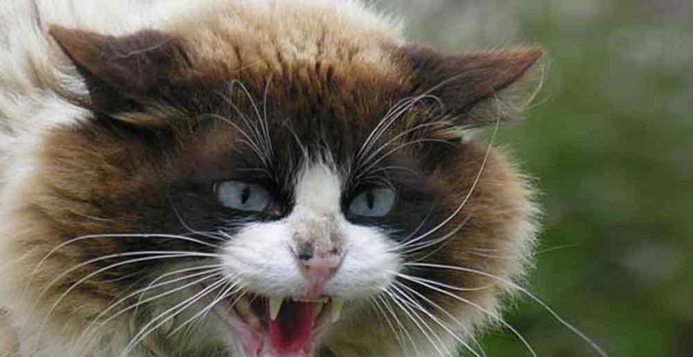 Gato mata a mujer de una mordida; la infectó con peligroso virus