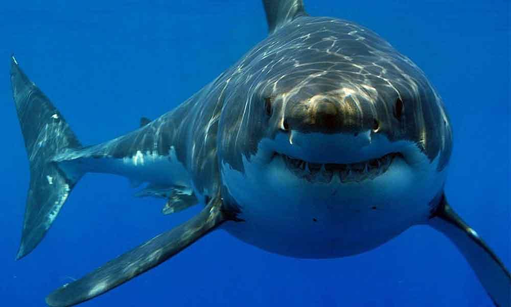 México diseña nueva jaula para observar al tiburón blanco con mayor seguridad