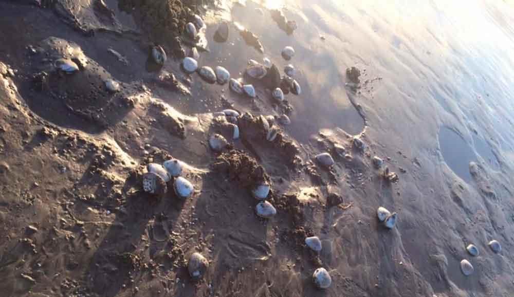 Mar arroja miles de almejas en Ensenada
