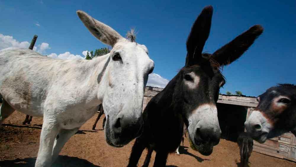 China quiere a todos los burros del mundo y paga por ellos