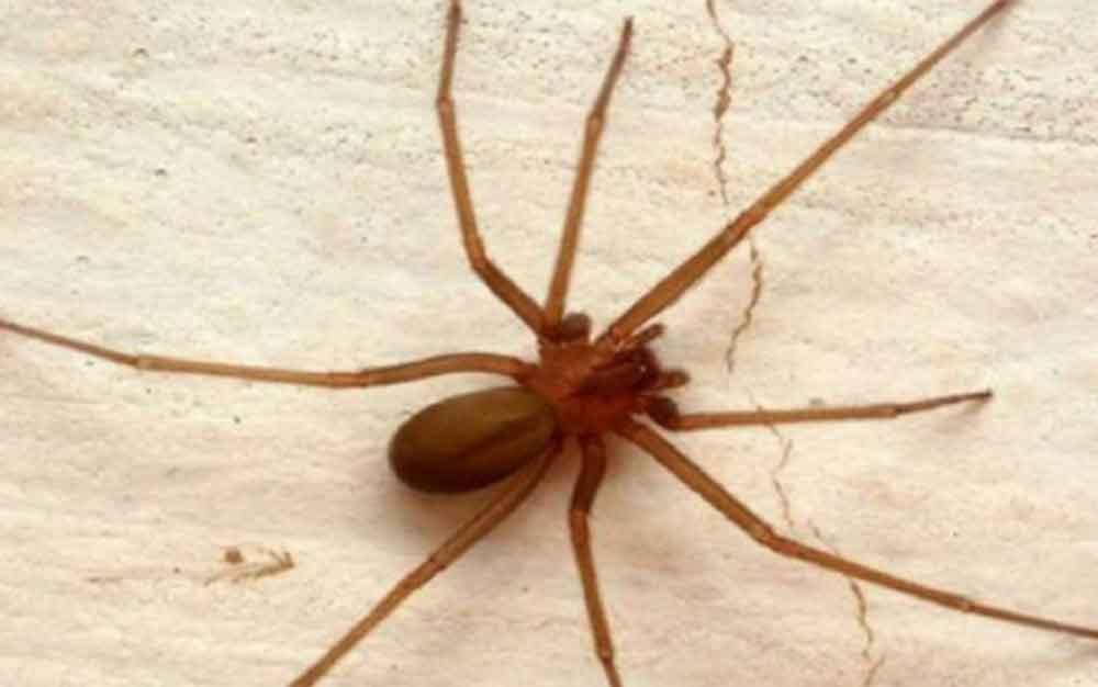 Muere bebe por mordedura de araña violinista