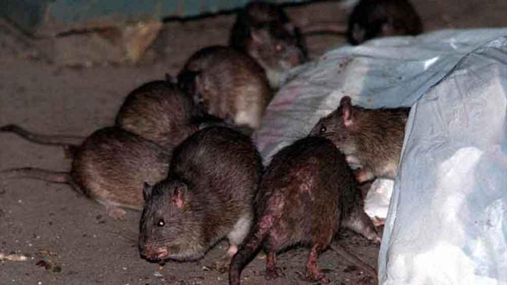 Muere joven por bacteria contagiada por ratas
