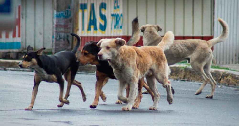 Crean croqueta anticonceptiva contra proliferación de perros callejeros