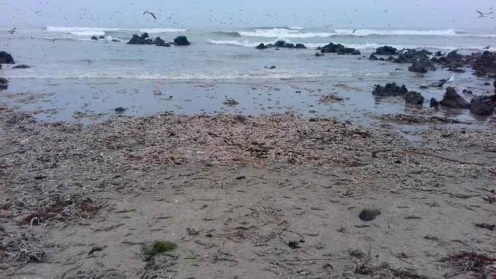 Aparecen miles de sardinas muertas al sur de Ensenada