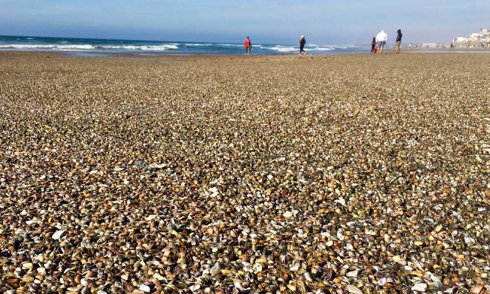 Miles de almejas aparecen en Playas de Tijuana