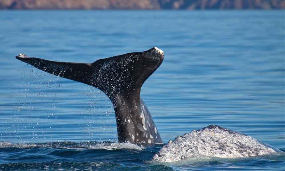 Ballenas grises llegan a Baja California, invitan a vivir la experiencia en Ensenada