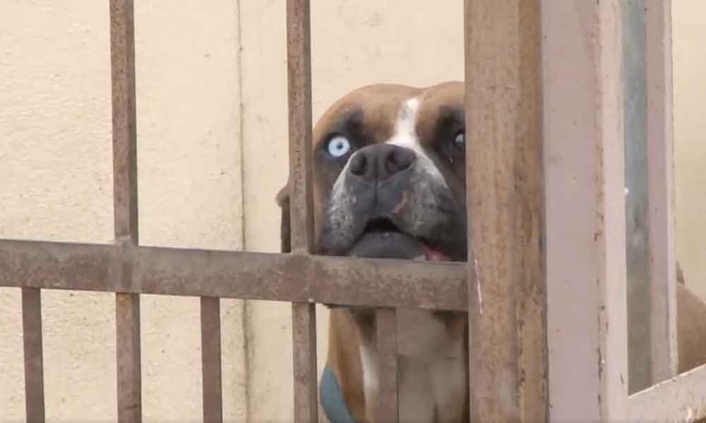 Muere mujer con Síndrome de Down por ataque de perros Bóxer en Ensenada
