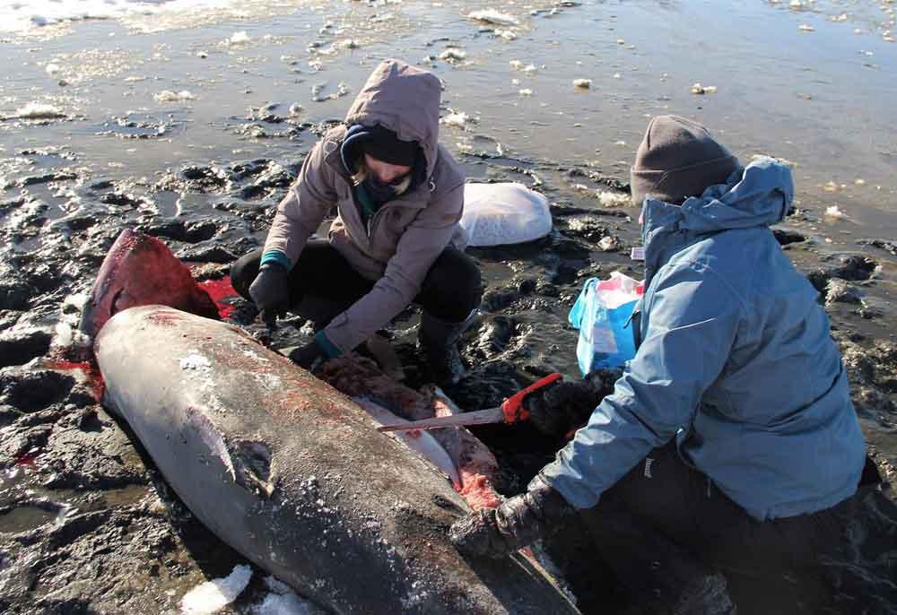 Por bajas temperaturas encuentran tiburones congelados en EU