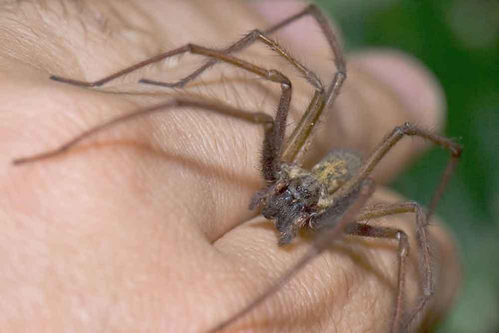 Descubren una nueva especie de mortal araña violinista