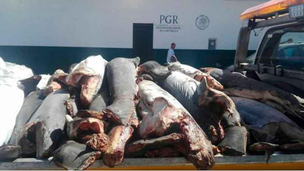 Abandonan 298 tiburones muertos en Michoacán