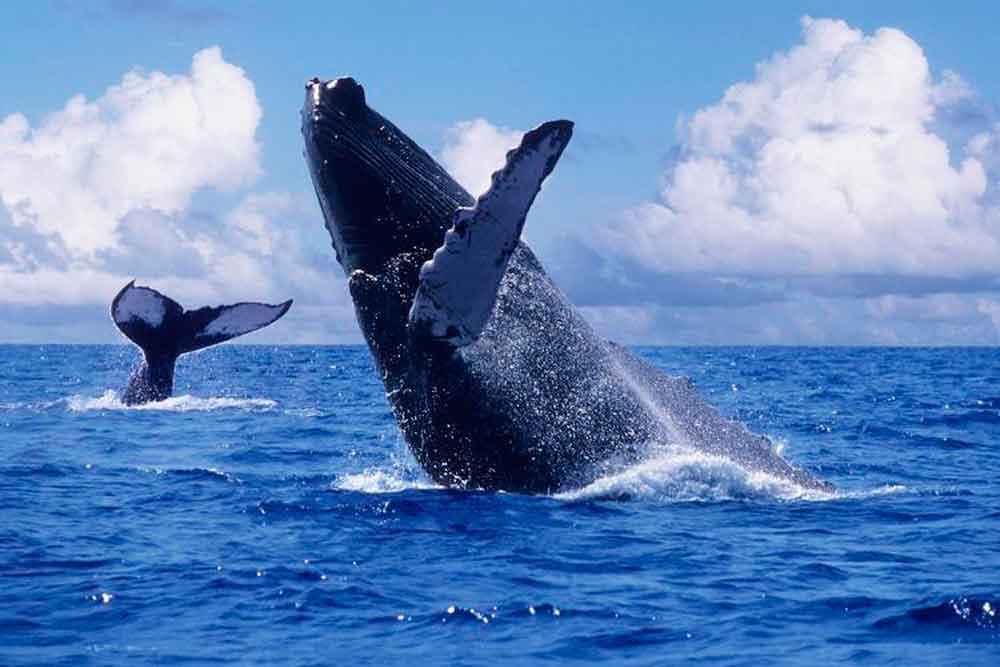 ¡Ya llegaron las ballenas a Baja California!