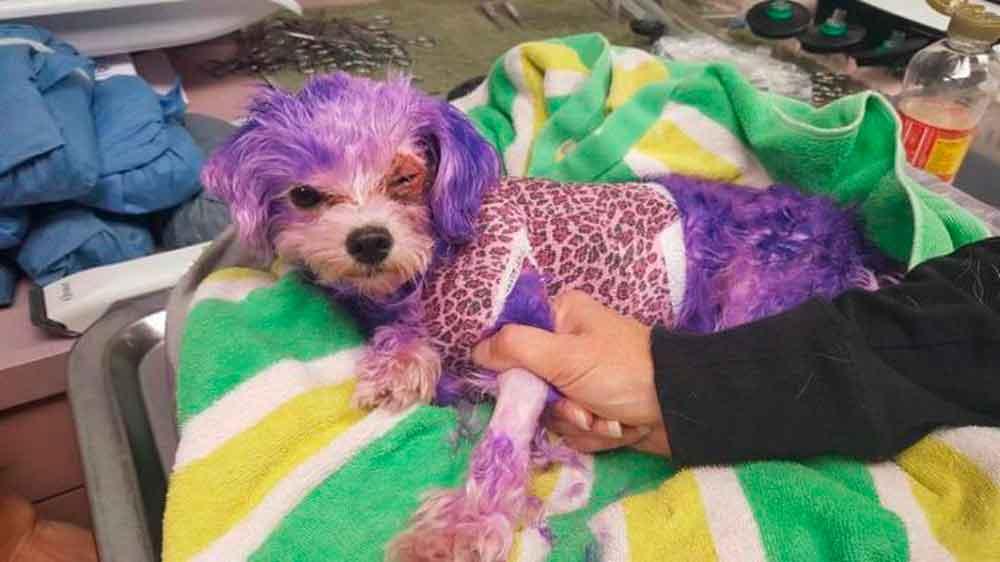 Violeta, la perrita quemada con tinte para el cabello