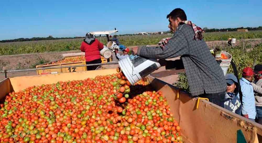 Hijos de jornaleros se intoxican tras comer tomates fumigados en Sinaloa