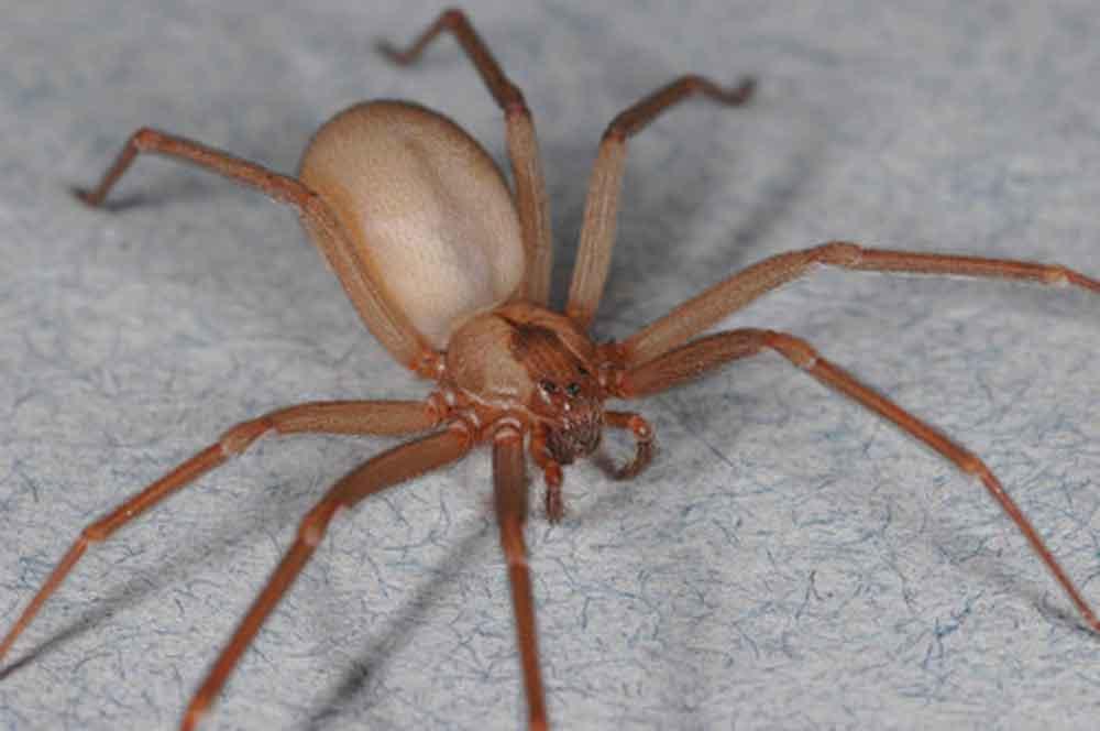 Descubren nueva especie de araña violinista