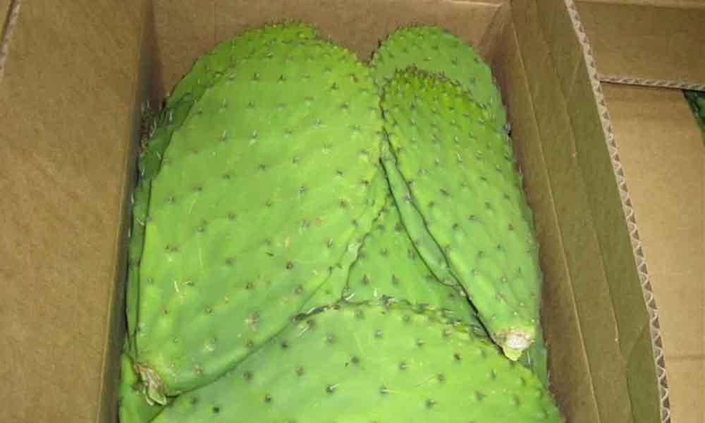 """Alertan en California a no consumir """"nopales envenenados"""" provenientes de México"""