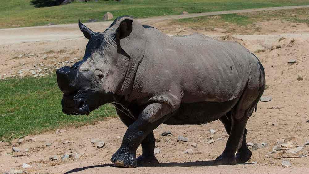 Muere el rinoceronte Chuck del zoológico de San Diego