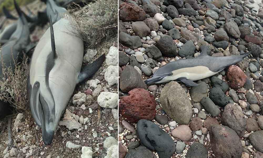 Localizan varados a 59 delfines en las costas de BCS; murieron 21
