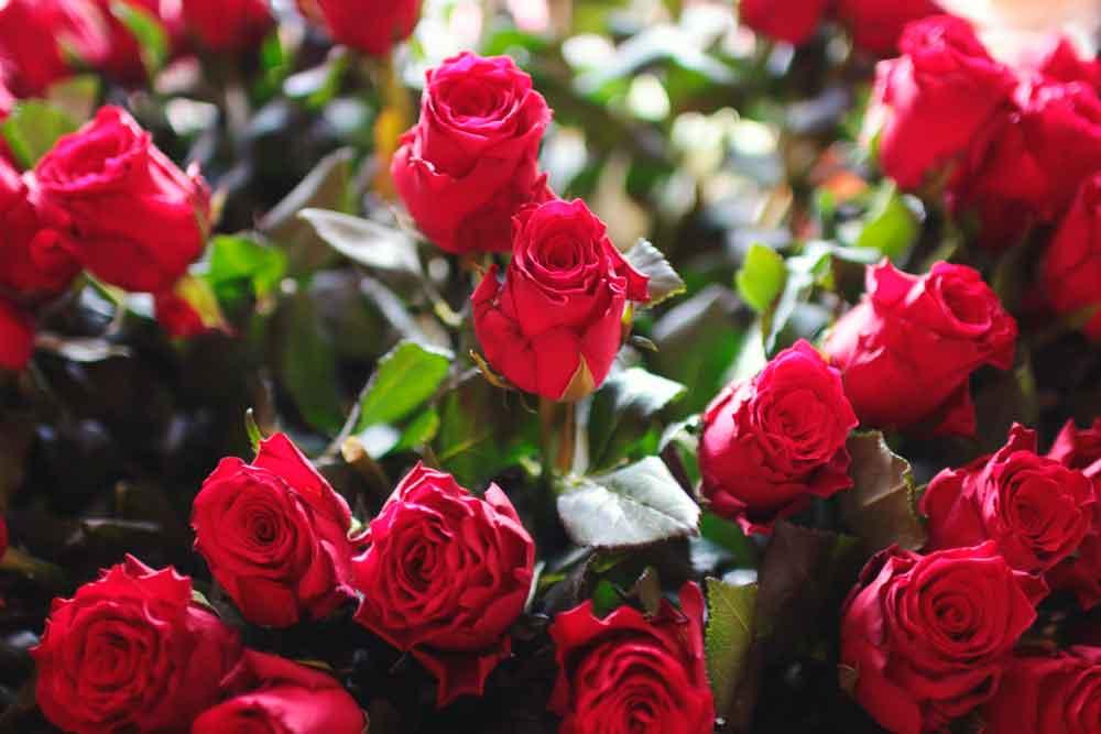 Cómo evitar que las rosas se marchiten después de San Valentín