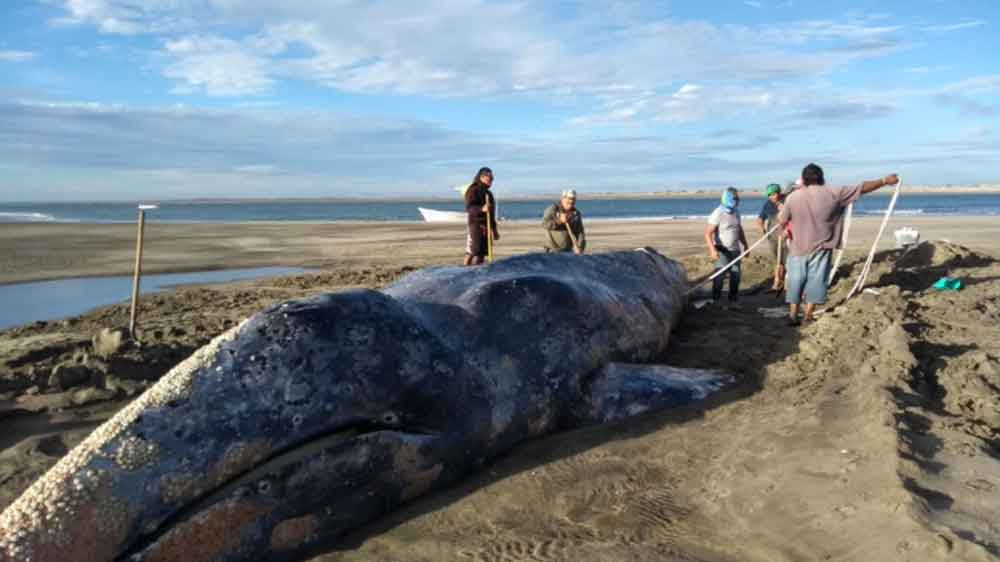 Rescatan a ballena gris varada en Baja California Sur