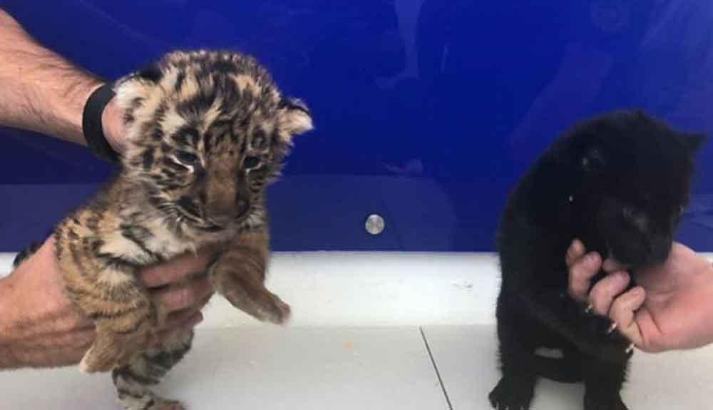 Aseguran tigre bengala y jaguar negro en el Aeropuerto Tijuana