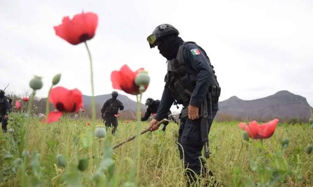 Destruyen 5 hectáreas de amapola en Sinaloa