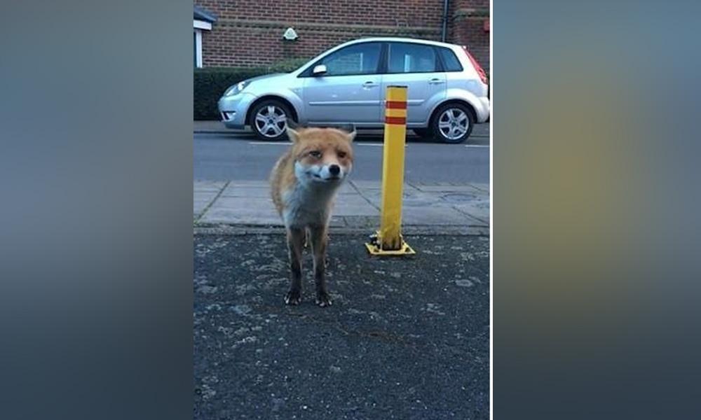 Insólito: Grababa a un zorro y le robó la billetera (VIDEO)