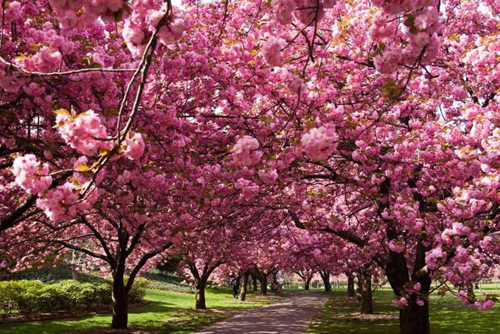 Inundan Japón los cerezos en flor ¡Es época de Hanami!