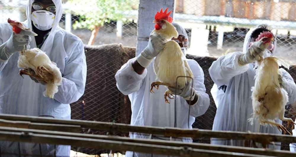 México reporta hallazgo y control de virus aviar