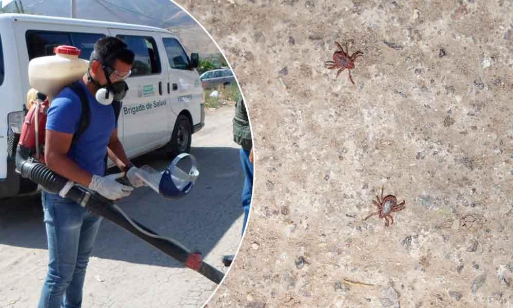 Invitan a prevenir presencia de garrapatas en hogares de Baja California