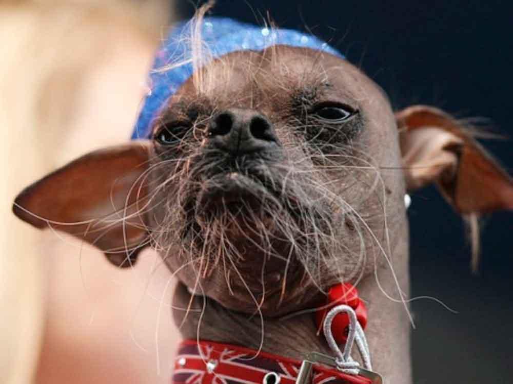 Buscan en San Diego al perro más feo