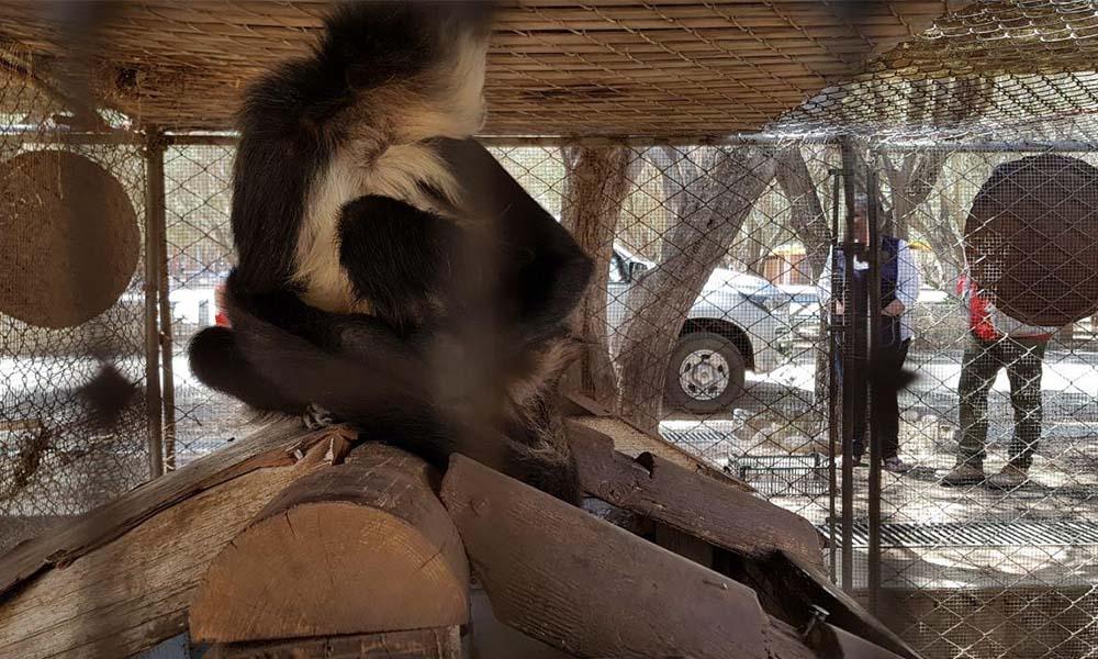 Aseguran a ejemplar de mono araña en Ensenada